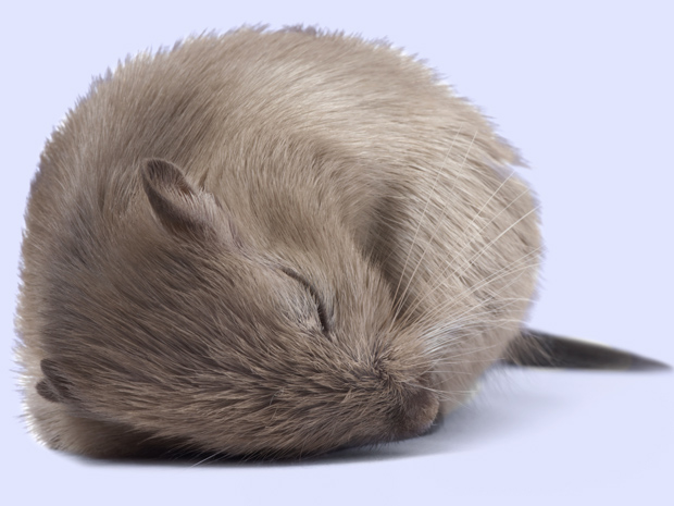 Mice Sleep Curled Up In A Ball Wordreference Forums